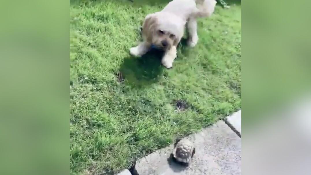 """Żółw przegonił psa. """"Nigdy nie widziałam, żeby biegał tak szybko"""""""