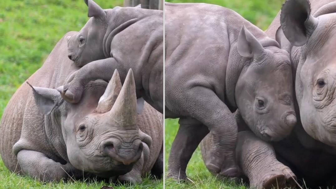 Ten nosorożec lubi być w centrum zainteresowania