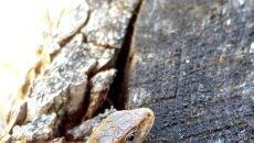 Jaszczurka żyworodna (Tatrzański Park Narodowy)