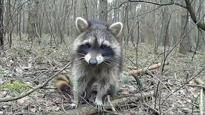 Cicha inwazja w polskich lasach